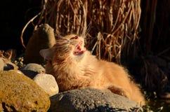 Katten gäspar på solnedgången Royaltyfria Bilder