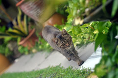 Katten går Royaltyfria Bilder