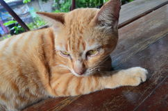 Katten gele bruine kleur op de lijst Stock Fotografie