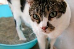 Katten genom att använda toaletten, katten i kullask, for pooping eller urinerar och att pooping i ren sandtoalett Ask för lokalv royaltyfria bilder