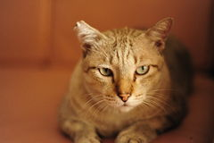 Katten gillar tigern Royaltyfria Bilder
