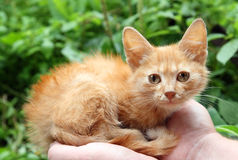 katten hands rött litet Royaltyfri Bild