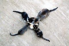 Katten het eten Stock Afbeeldingen