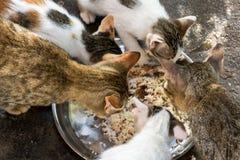 Katten het eten Royalty-vrije Stock Foto