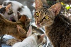 Katten het eten Stock Fotografie