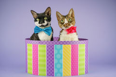 2 katten in kleurrijke doos Stock Afbeelding