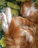 Katten kopplar av mainecoonkattkissekatten Arkivfoton