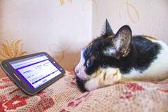 Katten läser en smartphone som vilar på soffan, blidkar Arkivfoto