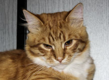 Katten ligger på den gråa wood bakgrunden Arkivbild