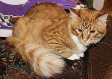 Katten ligger på den gråa wood bakgrunden Royaltyfri Bild