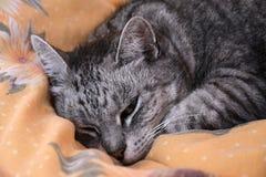 Katten ligger på duntäcket Grå strimmig kattkatt Royaltyfri Foto
