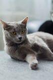 Katten ligger på en soffa Arkivbild