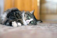 Katten ligger på golvet Katt som ligger på mattan Katt som vilar på mattan Katt som vilar på golvet katt som kopplar av på Royaltyfri Fotografi