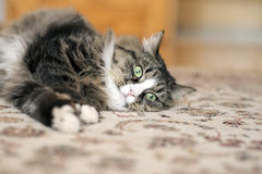 Katten ligger på golvet Katt som ligger på mattan Katt som vilar på mattan Katt som vilar på golvet katt som kopplar av på Arkivbild