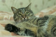 Katten ligger på plädet av sängen royaltyfri foto