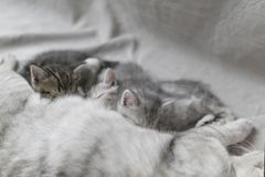 Katten matar kattungar med mjölkar fotografering för bildbyråer