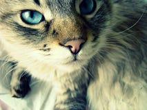 Katten med blått synar Arkivbild