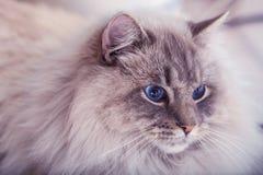 Katten med blått synar Royaltyfria Foton