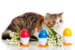 Katten med easter färgade ägg som isolerades på bakgrund Royaltyfria Bilder