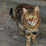 Katten med gräsplan synar royaltyfri bild