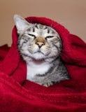 Katten med gröna ögon ligger under den röda filten Royaltyfri Fotografi