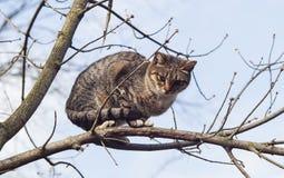 Katten med svart gör randig sammanträde på en filial av ett träd som hade inga sidor Arkivbilder