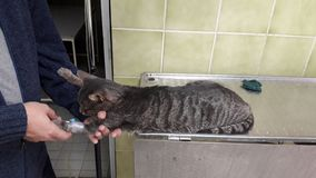 Katten mottar en avkok på veterinärkliniken Royaltyfri Bild