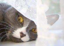 Katten och gardinen Arkivfoto