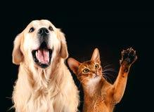 Katten och hunden tillsammans, den abyssinian kattungen, golden retriever ser rätt royaltyfria foton