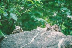 Katten op rotsen Stock Afbeelding