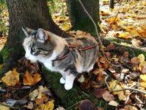 Katten på en sele i höst parkerar fotografering för bildbyråer