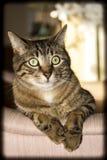 Katten poserar Arkivbild