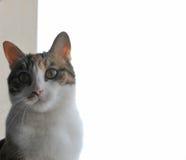 Katten poserar med den vita bakgrunden bak henne Arkivbild