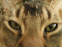Katten` s ogen royalty-vrije stock foto