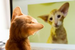 Katten ser honom i bildskärmen Royaltyfri Fotografi