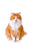 Katten ser med intresse Royaltyfri Foto