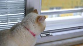 Katten ser utanför från fönster stock video