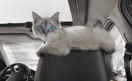 Katten sitter i bil på passageraresammanträde Arkivfoto