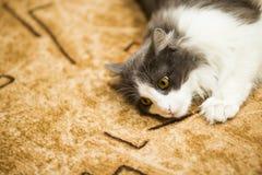 Katten sitter på en gul bakgrund Arkivbild