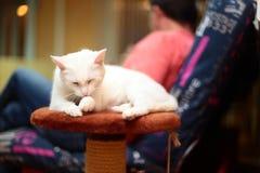 Katten sitter på en gul bakgrund Royaltyfria Bilder