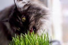 Katten sitter på fönstret och äter gräset Arkivbild