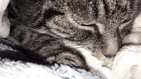 katten smyga sig i ull Arkivbild