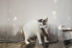 Katten som bär den lilla gnagaren, tjaller på roogen, den vita katten som fångar ett mous royaltyfria foton