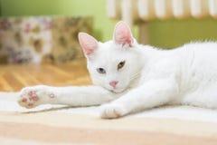 Katten som ligger på mattan, dess uppvisning, tafsar Fotografering för Bildbyråer