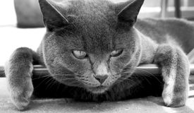Katten som ser in i kamera, tafsar att hänga över en stång Arkivfoton