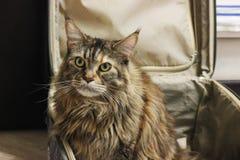 Katten som sitter i en resväska, hjälper, i att samla saker på vägen eller resan behaga för att ta en tur, spela turisten handels royaltyfria foton