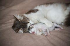 Katten som sover med kattungen och, kramar honom Royaltyfri Bild