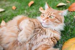 Katten som spelar på gräsmattan Arkivfoton