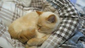Katten sover på sängen arkivfilmer