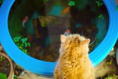 Katten starende vissen in een bad stock foto